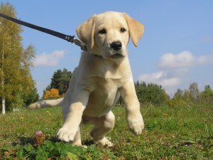 Don't let your puppy do this! Leash Train a Puppy the easy way. :)